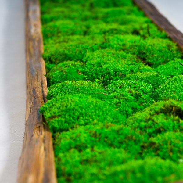 Mech leśny poduszkowy