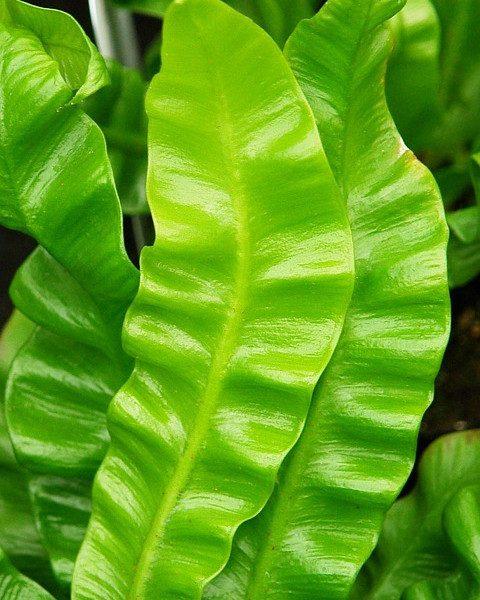 Asplenium - roślina antysmogowa