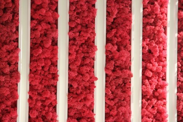 Mech chrobotek reniferowy barwiony