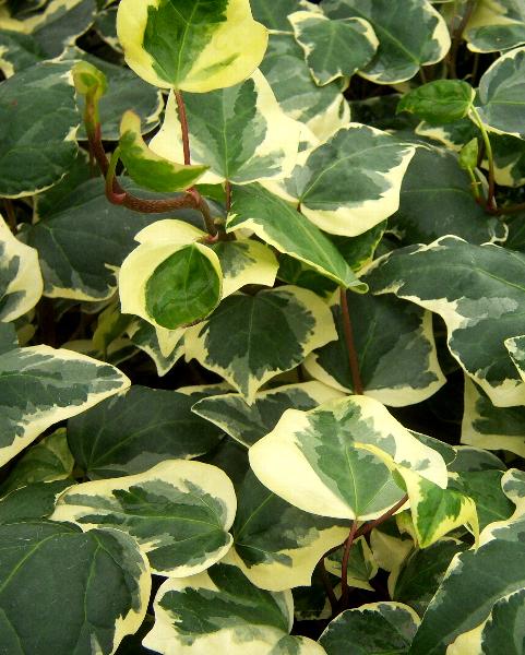 Bluszcz Pospolity - roślina antysmogowa
