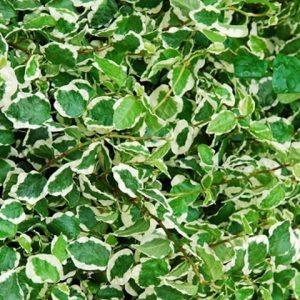 Figowiec pnący