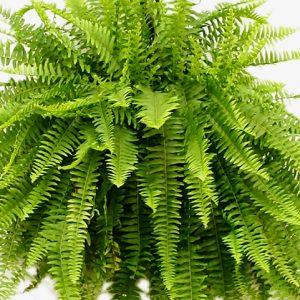 Roślina antysmogowa Nephrolepis