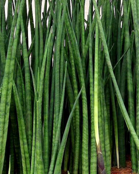 Wężownica sansevieria cylindrica - roślina antysmogowa
