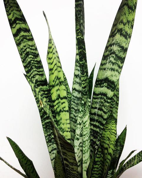Wężownica sansevieria zeylanica - roślina antysmogowa