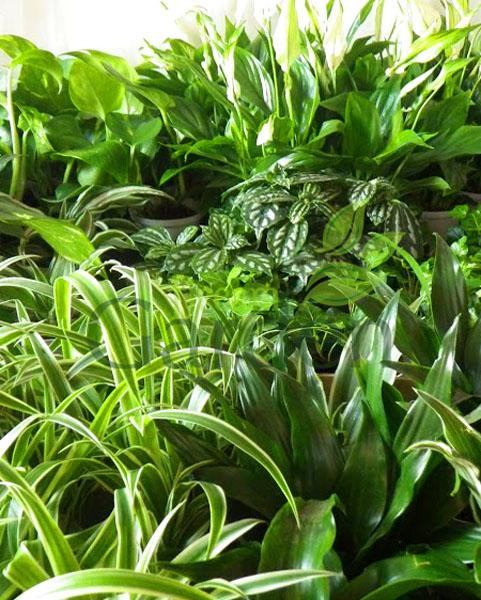 Rośliny antysmogowe