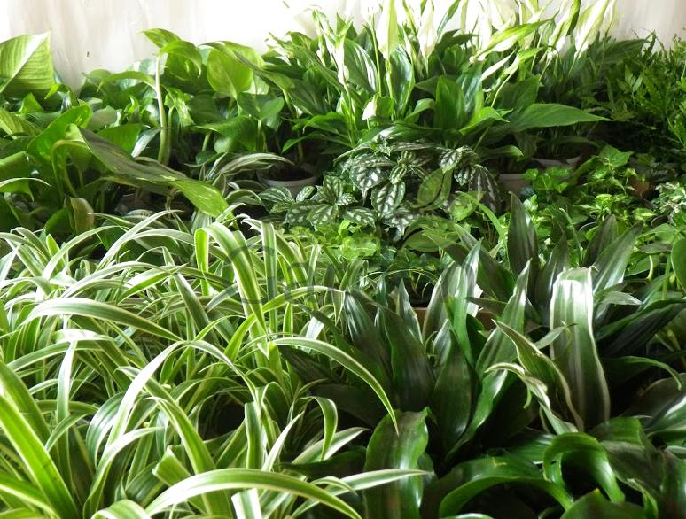 Rośliny na smog