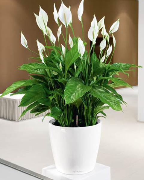 Skrzydłokwiat - roślina antysmogowa