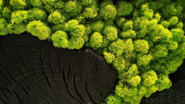 Mech chrobotek reniferowy - obraz drewno palone