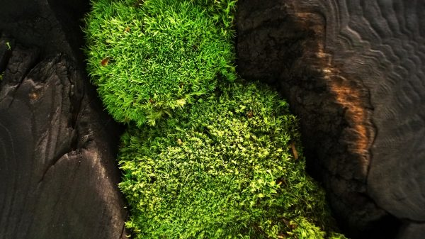 Mech leśny poduszkowy - drewno palone