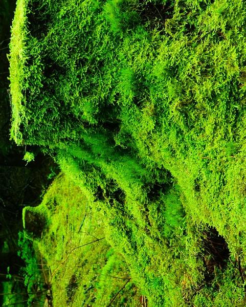 Mech leśny płaski - natura