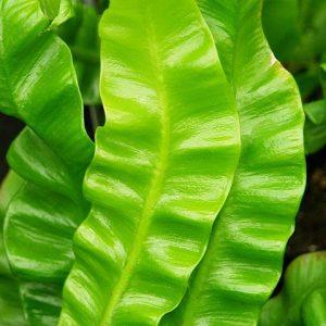 Zanokcica - roślina antysmogowa