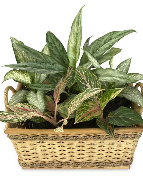 Difenbachia - roślina antysmogowa
