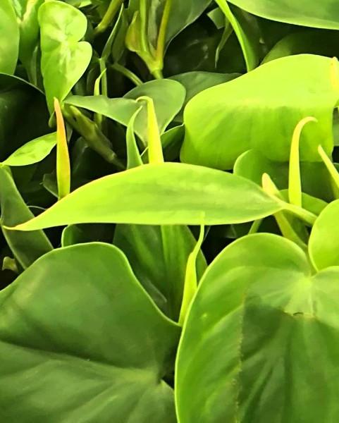 Filodendron scandens - roślina antysmogowa
