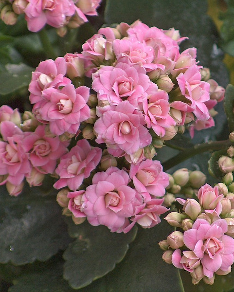 Kalanchoe różowa