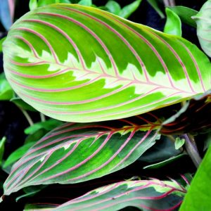 Maranta - roślina antysmogowa