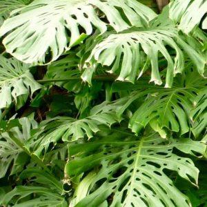 Monstera - roślina antysmogowa